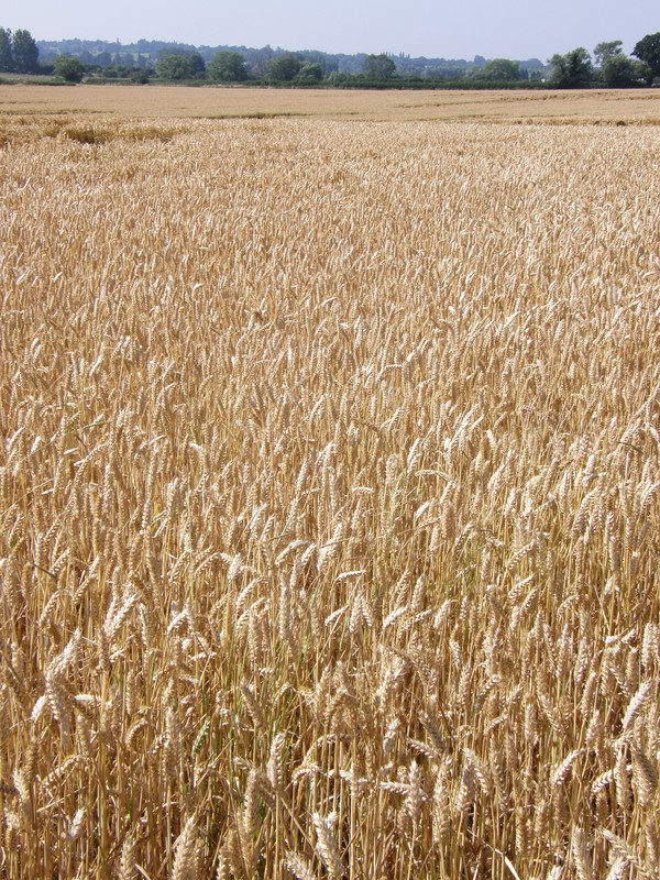 A field of wheat near Debden