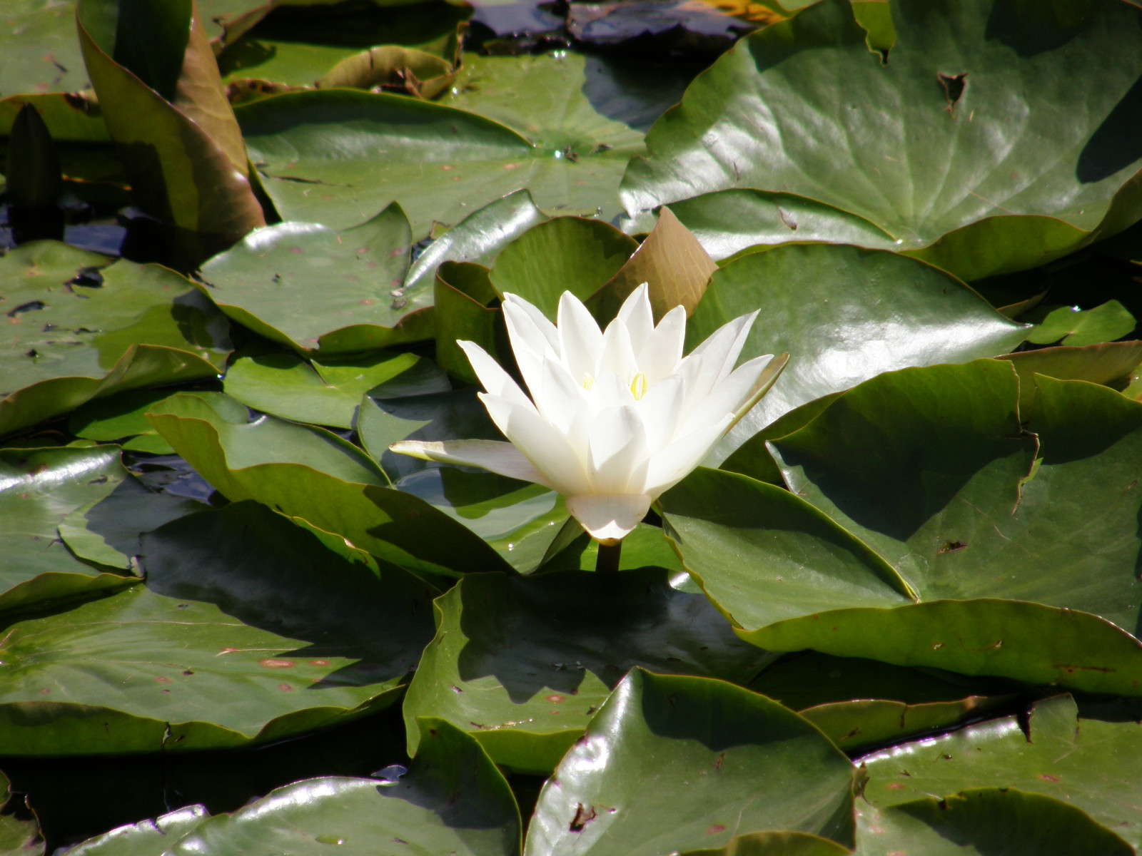 A lily in Mile End Park
