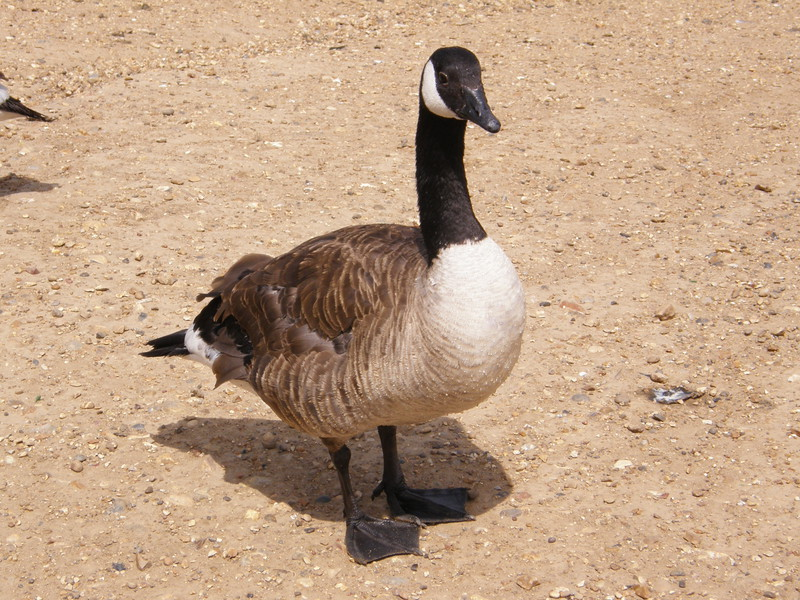 A Canada goose in Mayesbrook Park