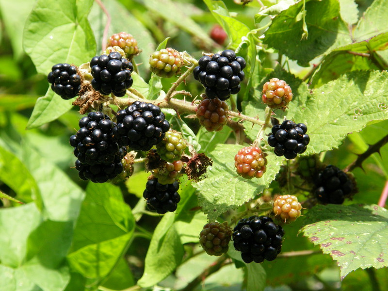 Blackberries along Luxborough Lane