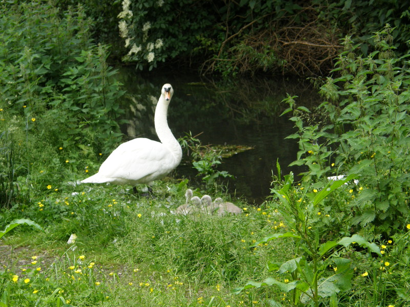 Protective swans on the River Chess